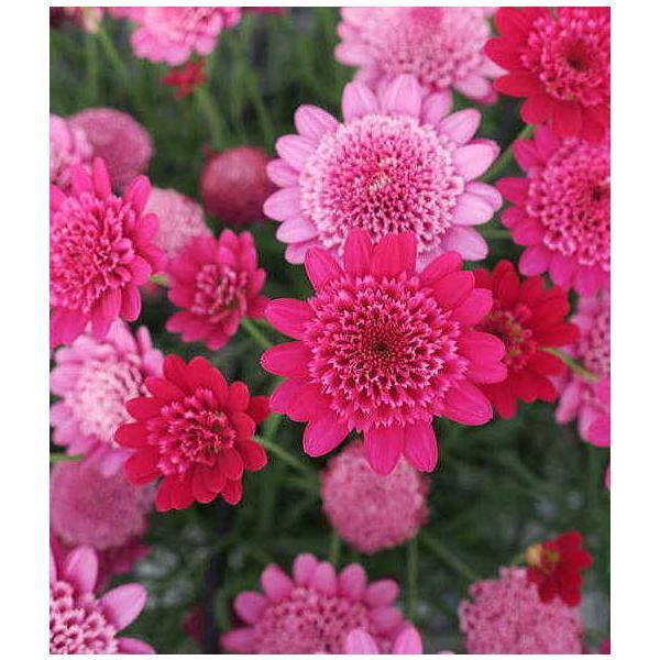 【秋冬予約品C】ボンザマーガレット 花付き苗 ルビー(3.5号)/サントリーフラワーズ【お届けは11月19日以降です】