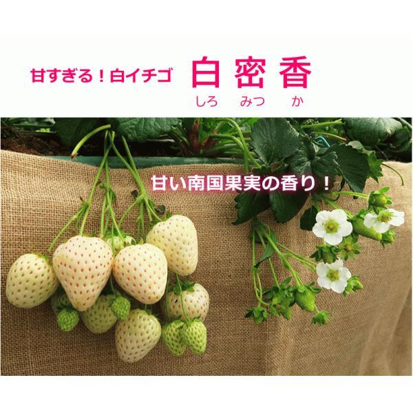 本気野菜・イチゴ 白蜜香 しろみつか(3号) サントリーフラワーズ