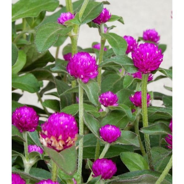 センニチコウ/千日紅 紫花 40ポットセット 3号 花苗 セット販売 まとめ買い