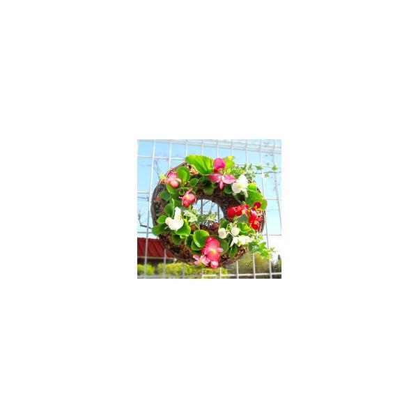 「ベゴニアのハンギング*リング」開花期間:春から晩秋まで(リース/玄関 寄せ植え /セット/ギフト/花/植え/鉢植え/壁掛け/ハンギング/春/夏/通販
