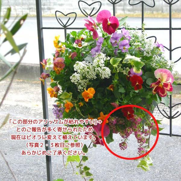 パンジー&ビオラのハンギングバスケット寄せ植え「カシスオレンジ」 (Mサイズアレンジ)(ハンギング/寄せ植え/秋/冬/セット/ギフト/花/フラワー|hanaururu|04