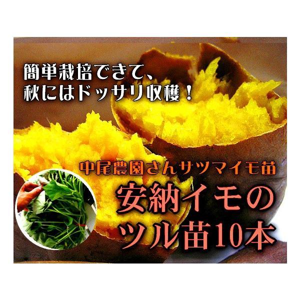 サツマイモ 苗 販売 「安納芋(イモヅル)10本  (※メール便不可)」トロ〜リ蜜あふれる話題の激うまイモ苗。(さつまいも・芋づる・安納イモ・案納芋|hanaururu|06
