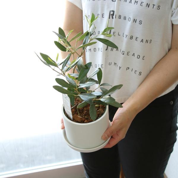 ミニオリーブ 「 オリーブの木 (高さ40〜45cm前後) 選べる鉢 2色 」 オリーブの木 販売 苗木 観葉植物 オリーブの木 鉢植え ガーデニング 農業 hanaururu 02