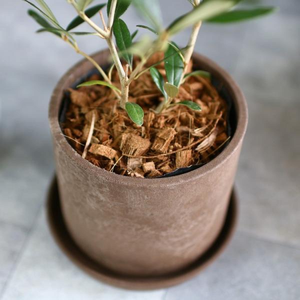 ミニオリーブ 「 オリーブの木 (高さ40〜45cm前後) 選べる鉢 2色 」 オリーブの木 販売 苗木 観葉植物 オリーブの木 鉢植え ガーデニング 農業 hanaururu 11