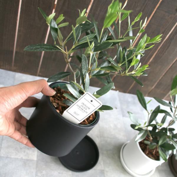 ミニオリーブ 「 オリーブの木 (高さ40〜45cm前後) 選べる鉢 2色 」 オリーブの木 販売 苗木 観葉植物 オリーブの木 鉢植え ガーデニング 農業 hanaururu 12