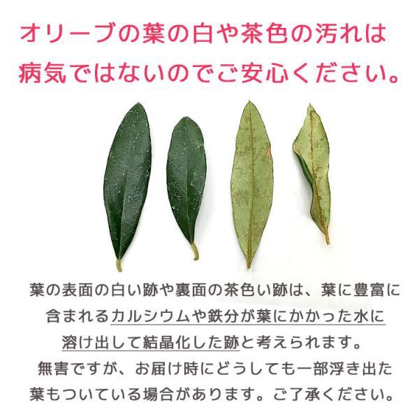 ミニオリーブ 「 オリーブの木 (高さ40〜45cm前後) 選べる鉢 2色 」 オリーブの木 販売 苗木 観葉植物 オリーブの木 鉢植え ガーデニング 農業 hanaururu 15