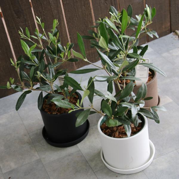 ミニオリーブ 「 オリーブの木 (高さ40〜45cm前後) 選べる鉢 2色 」 オリーブの木 販売 苗木 観葉植物 オリーブの木 鉢植え ガーデニング 農業 hanaururu 03