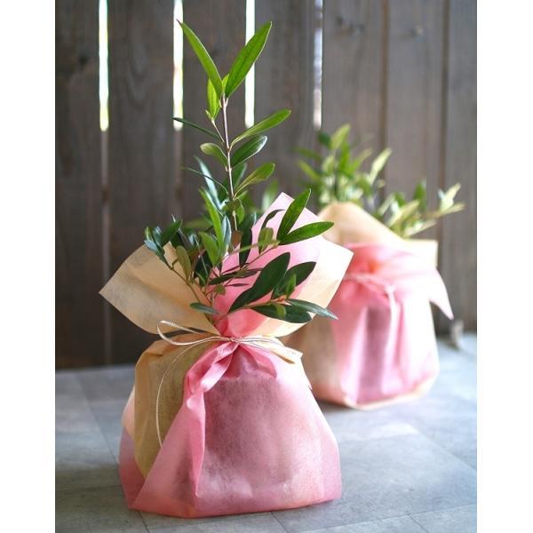 ミニオリーブ 「 オリーブの木 (高さ40〜45cm前後) 選べる鉢 2色 」 オリーブの木 販売 苗木 観葉植物 オリーブの木 鉢植え ガーデニング 農業 hanaururu 04