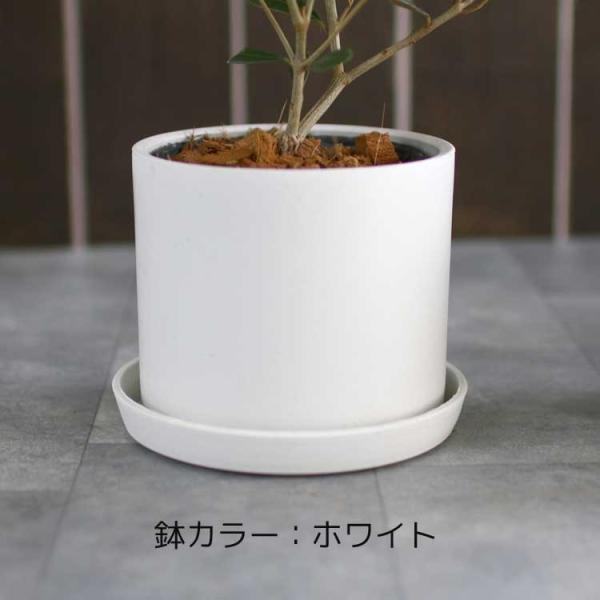 ミニオリーブ 「 オリーブの木 (高さ40〜45cm前後) 選べる鉢 2色 」 オリーブの木 販売 苗木 観葉植物 オリーブの木 鉢植え ガーデニング 農業 hanaururu 06