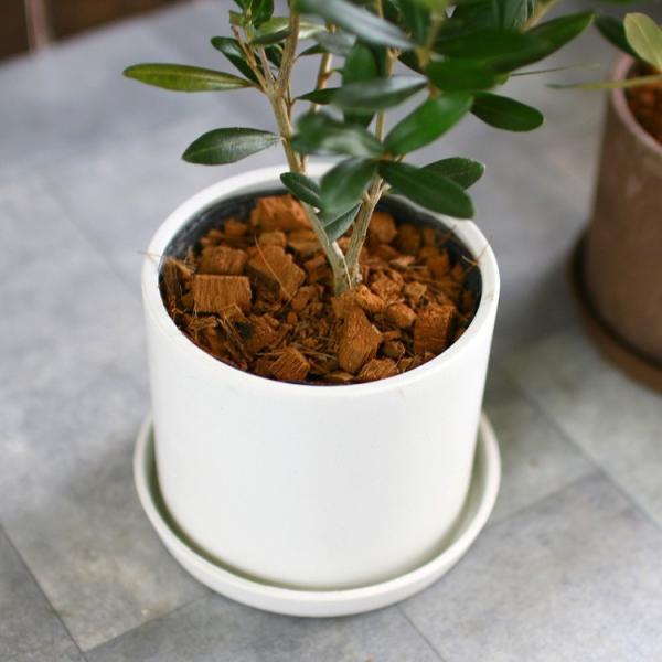 ミニオリーブ 「 オリーブの木 (高さ40〜45cm前後) 選べる鉢 2色 」 オリーブの木 販売 苗木 観葉植物 オリーブの木 鉢植え ガーデニング 農業 hanaururu 08