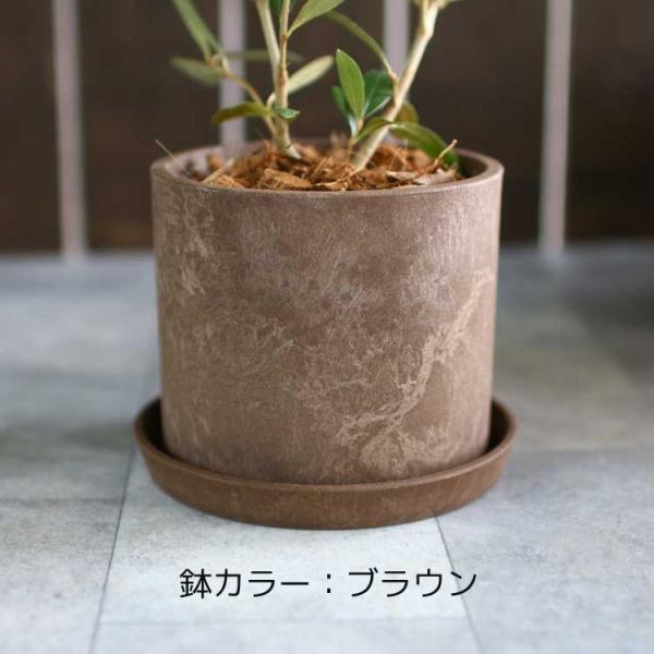 ミニオリーブ 「 オリーブの木 (高さ40〜45cm前後) 選べる鉢 2色 」 オリーブの木 販売 苗木 観葉植物 オリーブの木 鉢植え ガーデニング 農業 hanaururu 09