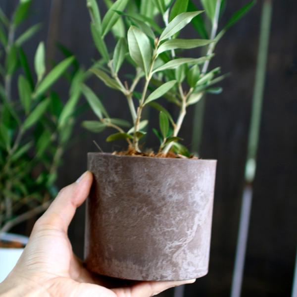 ミニオリーブ 「 オリーブの木 (高さ40〜45cm前後) 選べる鉢 2色 」 オリーブの木 販売 苗木 観葉植物 オリーブの木 鉢植え ガーデニング 農業 hanaururu 10