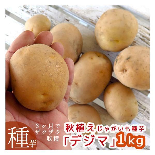 夏植え 秋植え じゃがいも 種イモ「デジマ 1kg」(長崎県産)  [検査合格済]馬鈴薯 じゃがいも 種いも苗/種/ばれいしょ/ジャガイモ/家庭菜園/苗/ 夏植え 秋植え