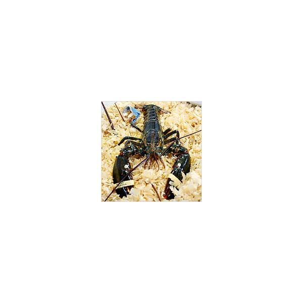 オマール海老 カナダ産:活きたままのプリップリッの特大オマール(ロブスター) 約450g前後×2尾セット 冷蔵のみ D+1