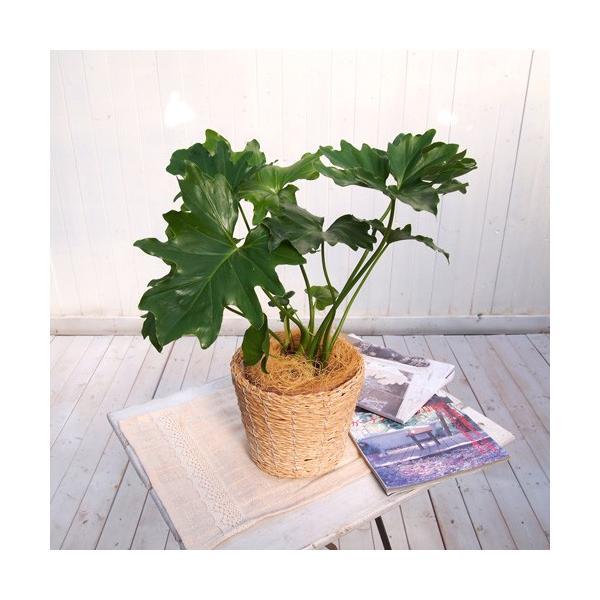 日比谷花壇 観葉植物  おしゃれ インテリア ギフト プレゼント 「セローム・バスケット」 hibiyakadan