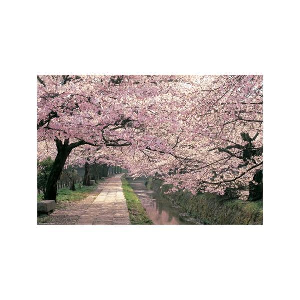 桜 哲学の道/ポスター フレーム(額)なし