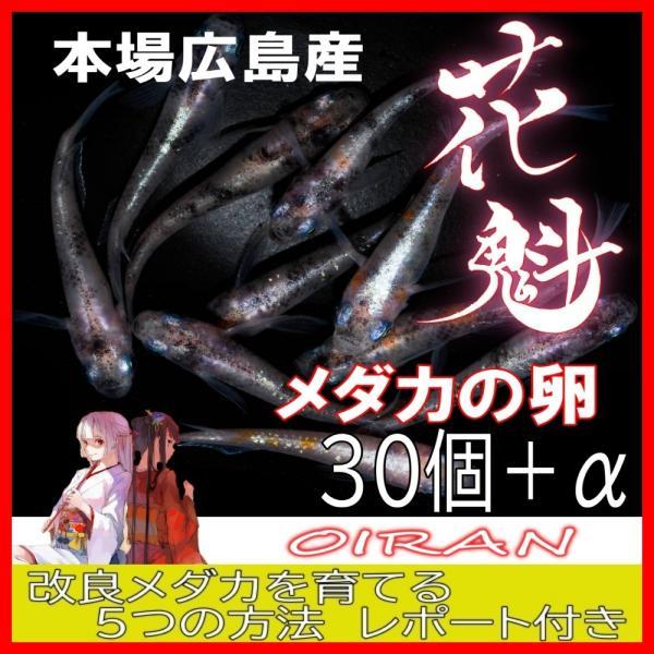 |広島産 煌メダカの卵 30個+α ラメ きらめき 改良めだかの最高峰 体外光 柿色 キラメキ