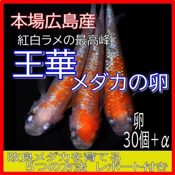 |広島産 王華 めだか 卵30個 紅白 ラメ 最高峰 改良 メダカ 超美個体 親群