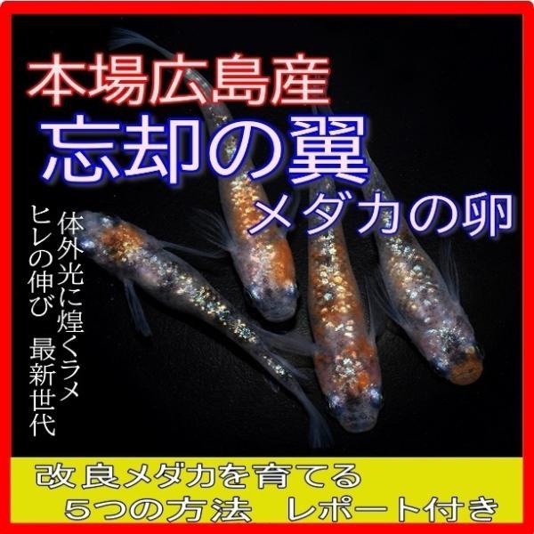 |広島産 忘却の翼めだか 卵30個 最高級 ラメ 体外光 ヒレ長 卵 メダカ