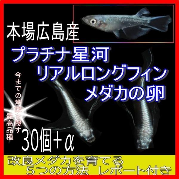  広島産 プラチナ星河リアルロングフィン メダカの卵30個 めだか 最高級 ヒレ長 メダカ 優雅