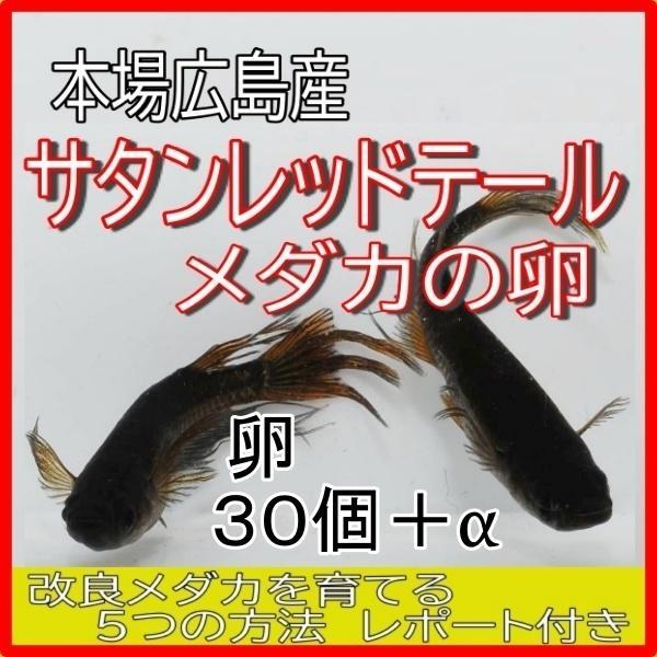  広島産 サタンレッドテール メダカの卵30個 めだか 最高級 ブラック ヒレ長 メダカ 優雅
