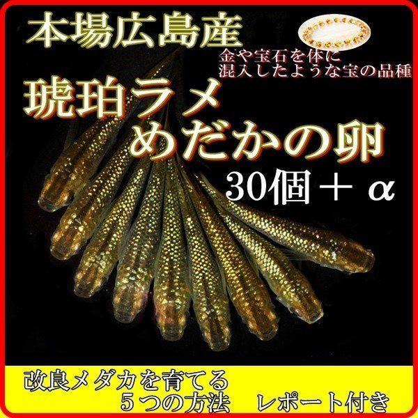  広島産 琥珀ラメ幹之 めだか卵30個 黄金の体に レインボーラメ 最高級 虹色 光る メダカ