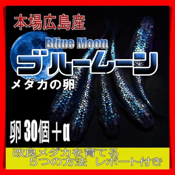 |広島産 オロチ めだか 卵30個 メダカ 最高級 改良 極黒 ブラック 最高