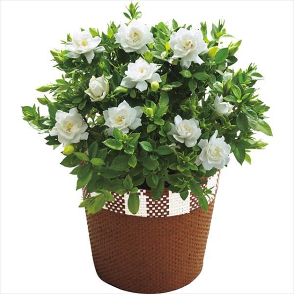 母の日 遅れてごめんね ガーデニア鉢植え / 母の日ギフト プレゼント 鉢花|hokkaido-gourmation