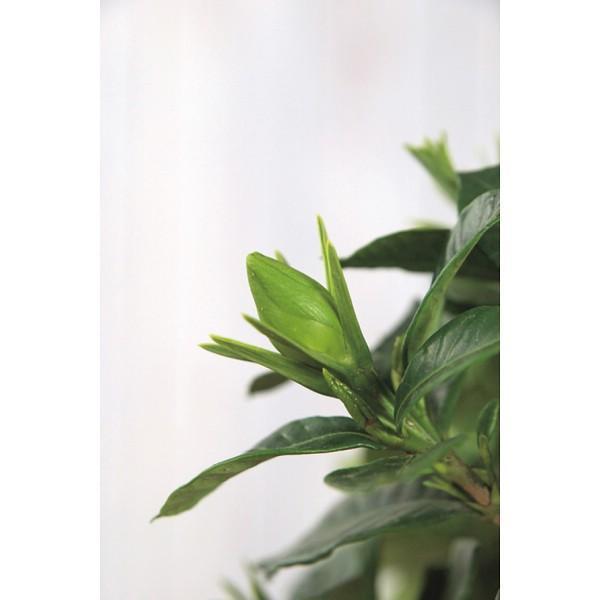母の日 遅れてごめんね ガーデニア鉢植え / 母の日ギフト プレゼント 鉢花|hokkaido-gourmation|02