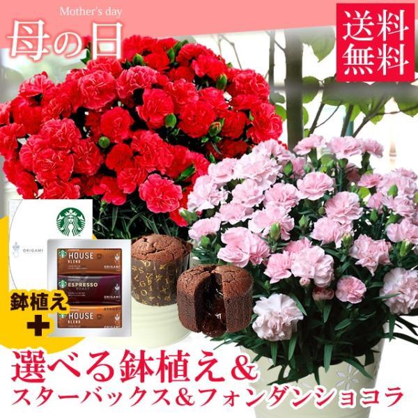 母の日 ギフト 2019 選べる鉢植え&スターバックス&フォンダンショコラ / カーネーション 鉢花 hokkaido-gourmation
