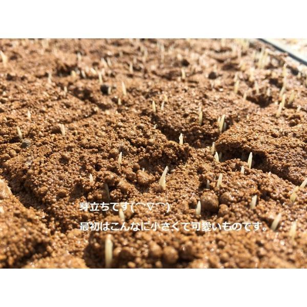 お米 玄米 白米 無洗米 無農薬 有機米ができるまでEM自然農法 苗芽出し
