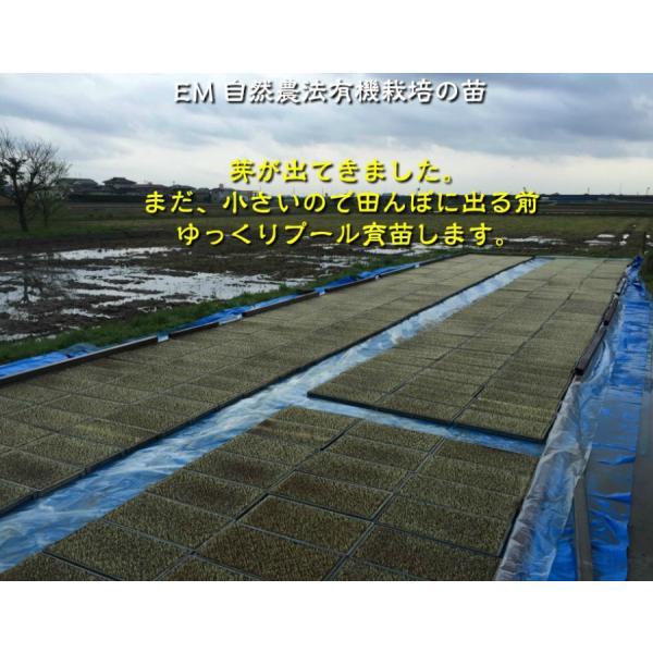 お米 玄米 白米 無洗米 無農薬 有機米ができるまでEM自然農法 苗の成長