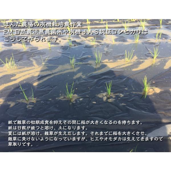お米 玄米 白米 無洗米 無農薬 有機米ができるまでEM自然農法 紙マルチ田植え 生育状況
