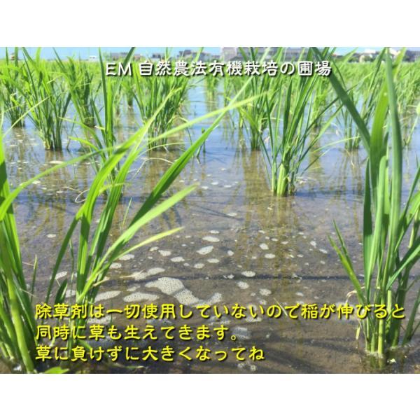 お米 玄米 白米 無洗米 無農薬 有機米ができるまでEM自然農法 無農薬 稲の生育状況