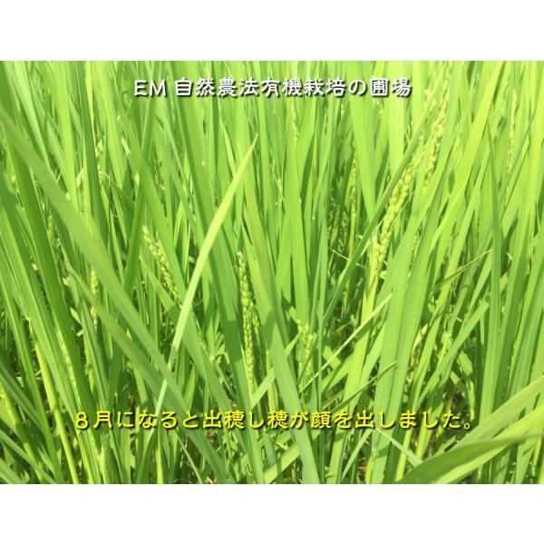 お米 玄米 白米 無洗米 無農薬 有機米ができるまでEM自然農法 稲の出穂