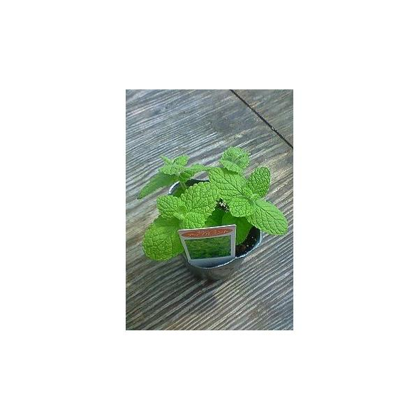 【当店農場生産】アップルミント 9センチポット苗 繁殖力旺盛なハーブ|honeymint