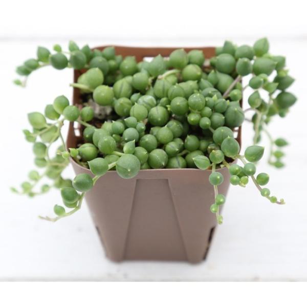 多肉植物 グリーンネックレス 7.5cmポット苗|honeymint|02