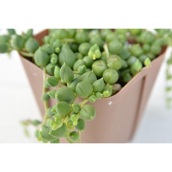 多肉植物 グリーンネックレス 7.5cmポット苗|honeymint|03