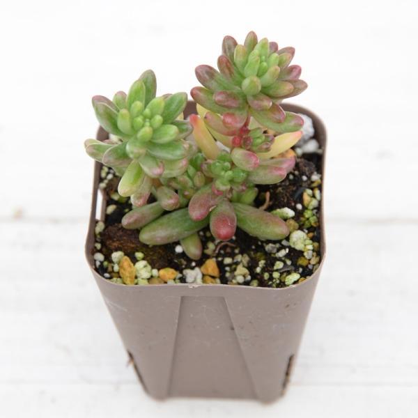 多肉植物 オーロラ 7.5cmポット|honeymint