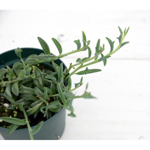 多肉植物 ドルフィンネックレス 7.5cmポット苗 honeymint 02