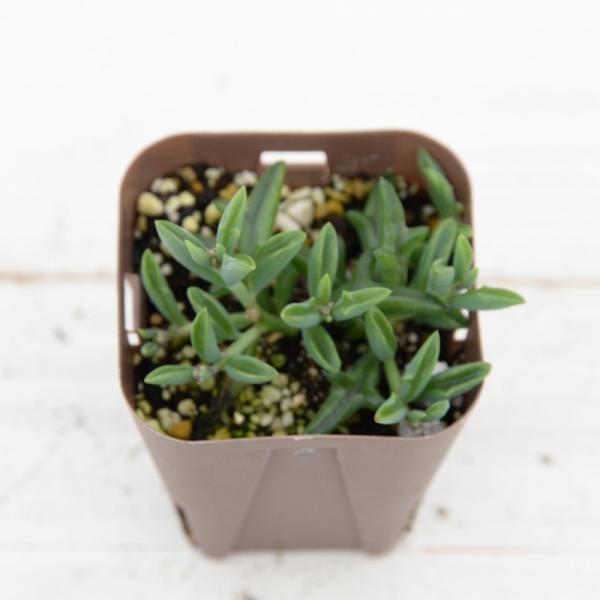 多肉植物 ドルフィンネックレス 7.5cmポット苗 honeymint 04