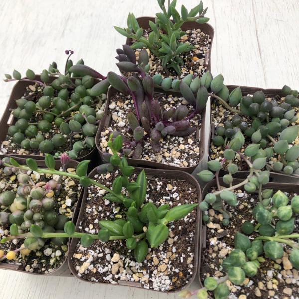 多肉植物 ネックレス系7種セット|honeymint