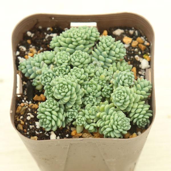 多肉植物 マジョール 7.5cmポット苗