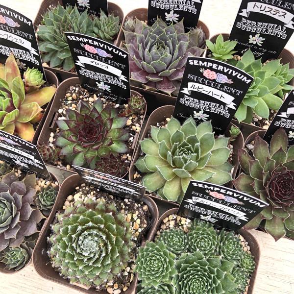 多肉植物 センペルビウム10種セット honeymint