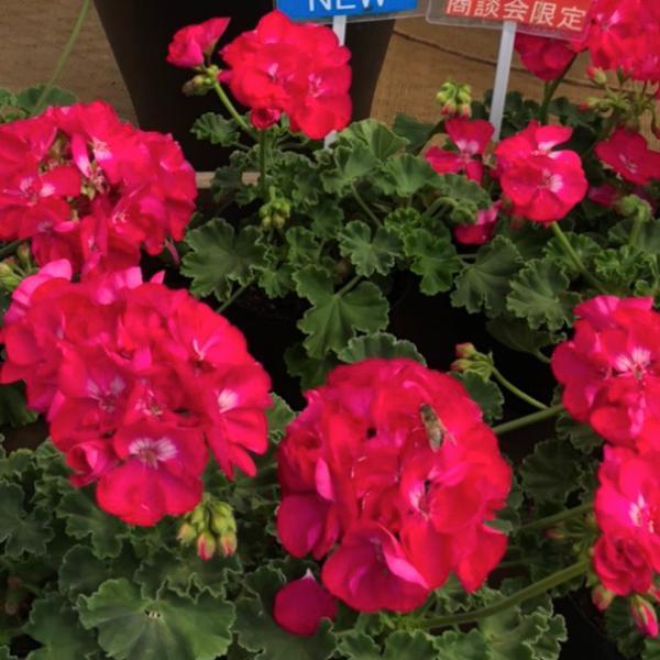 農場生産 ハイブリットゼラニウムカリオペ「ホットローズ」9cmポット苗強くて大輪咲き品種