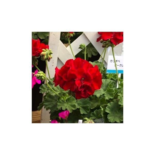 農場生産 ハイブリットゼラニウムカリオペ「ダークレッド」9cmポット苗強くて大輪咲き品種