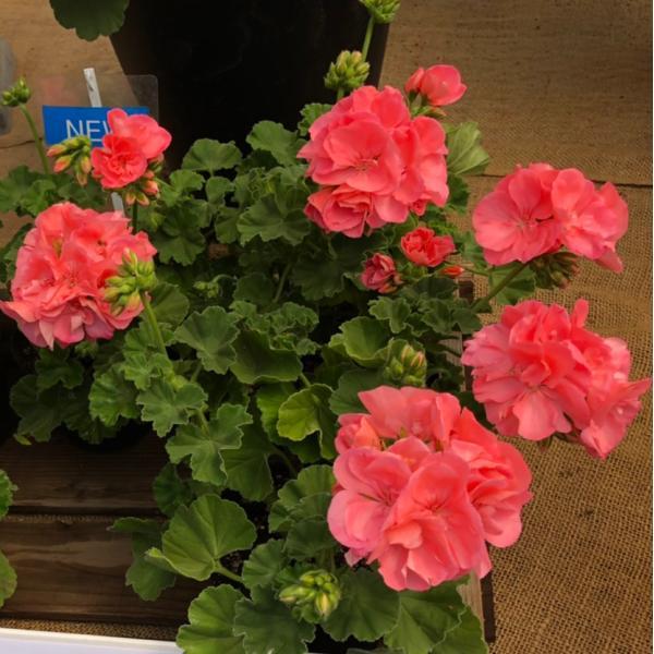 農場生産 ハイブリットゼラニウムカリオペ「ソフトコーラル」9cmポット苗強くて大輪咲き品種