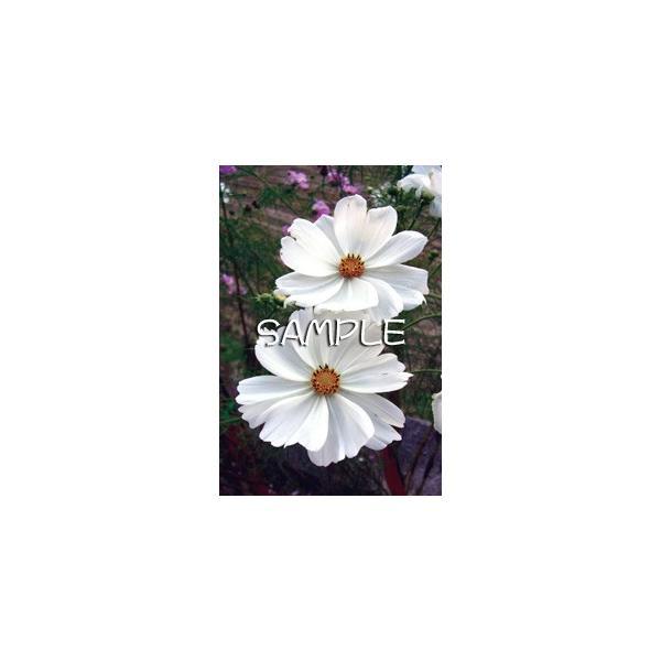 花のポストカード コスモス(白)|horiya-studio|02