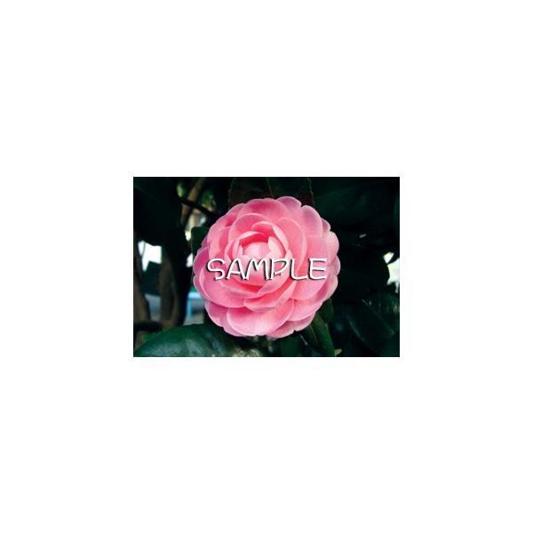花のポストカード ツバキ(ピンク)|horiya-studio|02