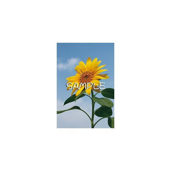 花のポストカード ヒマワリ|horiya-studio|02